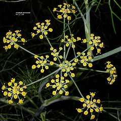 Flowers: Anethum graveolens. ~ By Gerry Carr. ~ Copyright © 2020 Gerry Carr. ~ gdcarr[at]comcast.net ~ Oregon Flora Image Project - www.botany.hawaii.edu/faculty/carr/ofp/ofp_index.htm