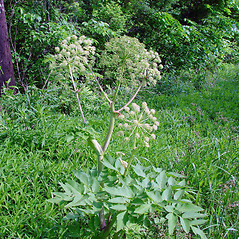 Plant form: Angelica atropurpurea. ~ By Arthur Haines. ~ Copyright © 2020. ~ arthurhaines[at]wildblue.net