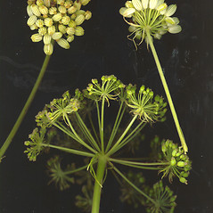 Fruits: Angelica lucida. ~ By Glen Mittelhauser. ~ Copyright © 2020 Glen Mittelhauser. ~ www.mainenaturalhistory.org