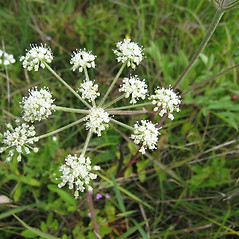Flowers: Angelica venenosa. ~ By Beverly Walters. ~ Copyright © 2020 Beverly Walters. ~ No permission needed for non-commercial uses, with proper credit ~ U. of Michigan Herbarium - herbarium.lsa.umich.edu/