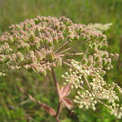 Fruits: Angelica venenosa. ~ By Beverly Walters. ~ Copyright © 2020 Beverly Walters. ~ No permission needed for non-commercial uses, with proper credit ~ U. of Michigan Herbarium - herbarium.lsa.umich.edu/