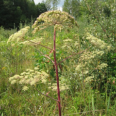 Plant form: Angelica venenosa. ~ By Beverly Walters. ~ Copyright © 2020 Beverly Walters. ~ No permission needed for non-commercial uses, with proper credit ~ U. of Michigan Herbarium - herbarium.lsa.umich.edu/
