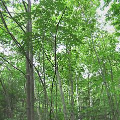 Plant form: Aralia elata. ~ By Elizabeth Farnsworth. ~ Copyright © 2021 New England Wild Flower Society. ~ Image Request, images[at]newenglandwild.org