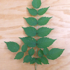 Leaves: Aralia elata. ~ By Elizabeth Farnsworth. ~ Copyright © 2019 New England Wild Flower Society. ~ Image Request, images[at]newenglandwild.org