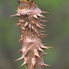 Winter buds: Aralia elata. ~ By Nick Kurzenko. ~ Copyright © 2019 Nick Kurzenko. ~ kurzenko[at]biosoil.ru  ~ CalPhotos - calphotos.berkeley.edu/flora/