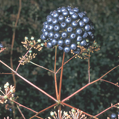 Fruits: Aralia hispida. ~ By Frank Bramley. ~ Copyright © 2019 New England Wild Flower Society. ~ Image Request, images[at]newenglandwild.org