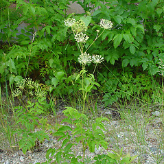 Plant form: Aralia hispida. ~ By Arthur Haines. ~ Copyright © 2021. ~ arthurhaines[at]wildblue.net