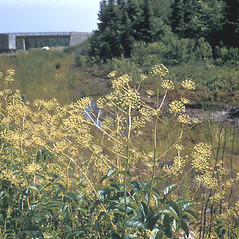 Plant form: Aralia hispida. ~ By Frank Bramley. ~ Copyright © 2021 New England Wild Flower Society. ~ Image Request, images[at]newenglandwild.org