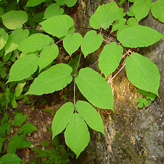 Leaves: Aralia racemosa. ~ By Arthur Haines. ~ Copyright © 2020. ~ arthurhaines[at]wildblue.net