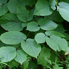 Leaves: Aralia racemosa. ~ By Arieh Tal. ~ Copyright © 2020 Arieh Tal. ~ http://botphoto.com/ ~ Arieh Tal - botphoto.com