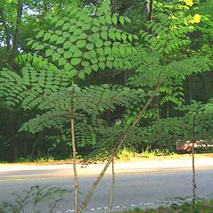 Plant form: Aralia spinosa. ~ By Alexey Zinovjev. ~ Copyright © 2020. ~ webmaster[at]salicicola.com ~ Salicicola - www.salicicola.com/