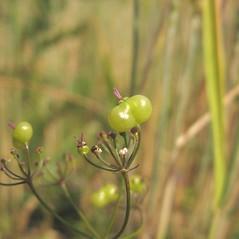 Fruits: Bifora radians. ~ By Pavel Novak. ~ Copyright © 2020 Pavel Novak. ~ Pav.now[at]seznam.cz ~ Biolib - www.biolib.cz