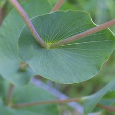 Leaves: Bupleurum rotundifolium. ~ By Steven Baskauf. ~ Copyright © 2021 CC-BY-NC-SA. ~  ~ Bioimages - www.cas.vanderbilt.edu/bioimages/frame.htm