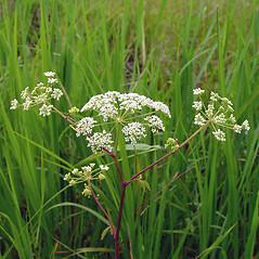 Flowers: Cicuta maculata. ~ By Arthur Haines. ~ Copyright © 2021. ~ arthurhaines[at]wildblue.net