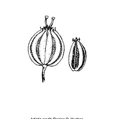 Fruits: Cicuta maculata. ~ By Regina O. Hughes. ~  Public Domain. ~  ~ Reed, C.F. 1970. Selected weeds of the United States. USDA Agric. Res. Ser. Agric. Handbook 336