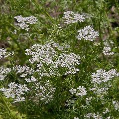 Plant form: Coriandrum sativum. ~ By Paul S. Drobot. ~ Copyright © 2021 Paul S. Drobot. ~ www.plantstogrow.com, www.plantstockphotos.com ~ Robert W. Freckmann Herbarium, U. of Wisconsin-Stevens Point