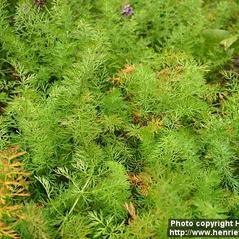 Plant form: Cuminum cyminum. ~ By Henriette Kress. ~ Copyright © 2019 Photo copyright Henriette Kress, http://www.henriettesherbal.com. ~  ~ www.henriettesherbal.com