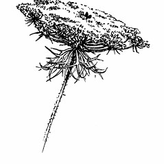 Flowers: Daucus carota. ~ By Gordon Morrison. ~ Copyright © 2019 New England Wild Flower Society. ~ Image Request, images[at]newenglandwild.org