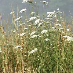 Plant form: Daucus carota. ~ By Arieh Tal. ~ Copyright © 2019 Arieh Tal. ~ www.nttlphoto.com ~ Arieh Tal - www.nttlphoto.com
