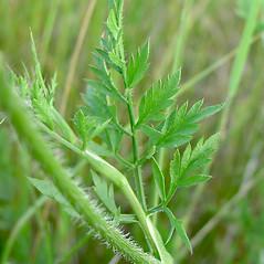 Leaves: Daucus carota. ~ By Glen Mittelhauser. ~ Copyright © 2019 Glen Mittelhauser. ~ www.mainenaturalhistory.org