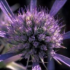 Flowers: Eryngium amethystinum. ~ By Amadej Trnkoczy. ~ Copyright © 2020 Amadej Trnkoczy. ~ amadej.trnkoczy[at]siol.net ~ CalPhotos - calphotos.berkeley.edu/flora/