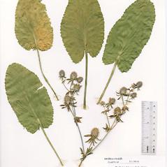 Leaves: Eryngium planum. ~ By The Herbarium of The Morton Arboretum (MOR). ~ Copyright © 2021 The Morton Arboretum. ~ Ed Hedborn, The Morton Arboretum ~ The Herbarium of The Morton Arboretum