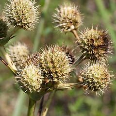 Fruits: Eryngium yuccifolium. ~ By John Gwaltney. ~ Copyright © 2021 John Gwaltney. ~ southeasternflora.com ~ Southeastern Flora - www.southeasternflora.com/
