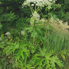 Plant form: Heracleum mantegazzianum. ~ By Glen Mittelhauser. ~ Copyright © 2021 Glen Mittelhauser. ~ www.mainenaturalhistory.org