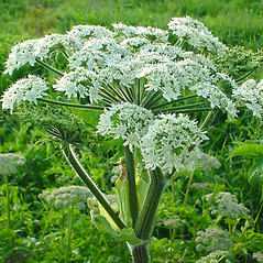 Flowers: Heracleum maximum. ~ By Glen Mittelhauser. ~ Copyright © 2021 Glen Mittelhauser. ~ www.mainenaturalhistory.org