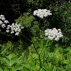 Plant form: Heracleum maximum. ~ By Arthur Haines. ~ Copyright © 2021. ~ arthurhaines[at]wildblue.net