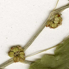 Fruits: Hydrocotyle americana. ~ By CONN Herbarium. ~ Copyright © 2021 CONN Herbarium. ~ Requests for image use not currently accepted by copyright holder ~ U. of Connecticut Herbarium - bgbaseserver.eeb.uconn.edu/