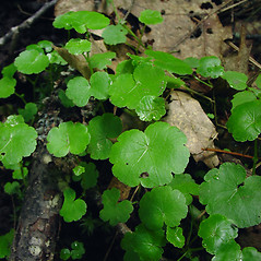 Leaves: Hydrocotyle americana. ~ By Glen Mittelhauser. ~ Copyright © 2021 Glen Mittelhauser. ~ www.mainenaturalhistory.org