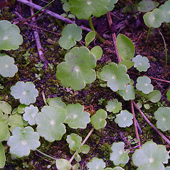 Leaves: Hydrocotyle umbellata. ~ By Arthur Haines. ~ Copyright © 2020. ~ arthurhaines[at]wildblue.net