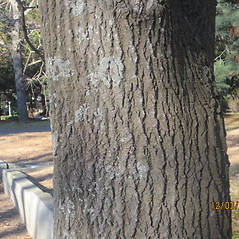 Bark: Kalopanax septemlobus. ~ By Bill Brumback. ~ Copyright © 2021 Bill Brumback. ~ Image Request, images[at]newenglandwild.org