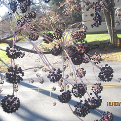 Fruits: Kalopanax septemlobus. ~ By Bill Brumback. ~ Copyright © 2021 Bill Brumback. ~ Image Request, images[at]newenglandwild.org