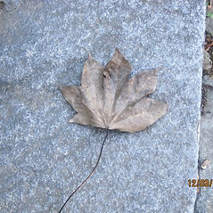Leaves: Kalopanax septemlobus. ~ By Bill Brumback. ~ Copyright © 2021 Bill Brumback. ~ Image Request, images[at]newenglandwild.org