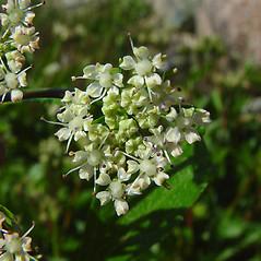 Flowers: Ligusticum scoticum. ~ By Arthur Haines. ~ Copyright © 2019. ~ arthurhaines[at]wildblue.net