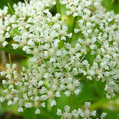 Flowers: Ligusticum scoticum. ~ By Glen Mittelhauser. ~ Copyright © 2021 Glen Mittelhauser. ~ www.mainenaturalhistory.org