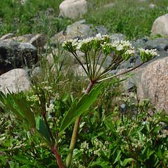 Plant form: Ligusticum scoticum. ~ By Arthur Haines. ~ Copyright © 2021. ~ arthurhaines[at]wildblue.net