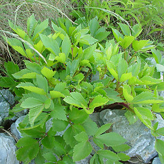 Leaves: Ligusticum scoticum. ~ By Glen Mittelhauser. ~ Copyright © 2019 Glen Mittelhauser. ~ www.mainenaturalhistory.org