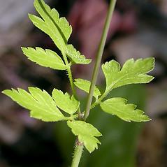Stems: Osmorhiza berteroi. ~ By Keir Morse. ~ Copyright © 2019 Keir Morse. ~ www.keiriosity.com ~ www.keiriosity.com