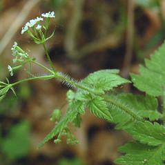 Stems: Osmorhiza claytonii. ~ By Katy Chayka. ~ Copyright © 2021 Minnesota Wildflowers Information. ~ info@minnesotawildflowers.info