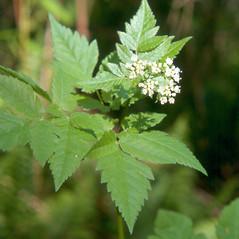 Plant form: Osmorhiza longistylis. ~ By Arthur Haines. ~ Copyright © 2020. ~ arthurhaines[at]wildblue.net