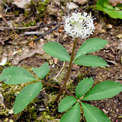 Plant form: Panax trifolius. ~ By Dawn Dentzer. ~ Copyright © 2021. ~ dawndentzer[at]gmail.com