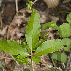 Leaves: Panax trifolius. ~ By John Gwaltney. ~ Copyright © 2021 John Gwaltney. ~ southeasternflora.com ~ Southeastern Flora - www.southeasternflora.com/