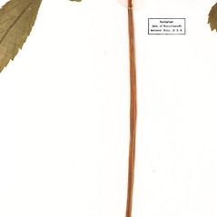 Stems: Panax trifolius. ~ By University of Massachusetts Herbarium (MASS). ~ Copyright © 2021 University of Massachusetts Herbarium. ~ University of Massachusetts Herbarium ~ U. of Massachusetts Herbarium