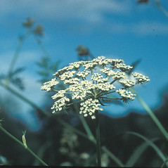 Flowers: Peucedanum palustre. ~ By Mary Walker. ~ Copyright © 2020 New England Wild Flower Society. ~ Image Request, images[at]newenglandwild.org