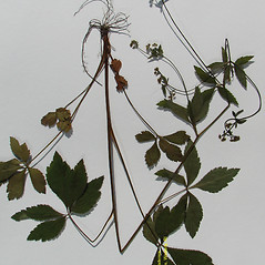 Plant form: Sanicula canadensis. ~ By Arthur Haines. ~ Copyright © 2020. ~ arthurhaines[at]wildblue.net