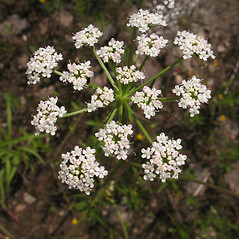 Flowers: Sium suave. ~ By Marilee Lovit. ~ Copyright © 2021 Marilee Lovit. ~ lovitm[at]gmail.com