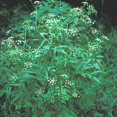 Plant form: Sium suave. ~ By John Lynch. ~ Copyright © 2020 New England Wild Flower Society. ~ Image Request, images[at]newenglandwild.org